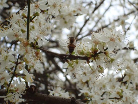 Cerisier à fleurs blanches et abeille butineuse, au jardin des Plantes à Paris. Photo Alina Reyes
