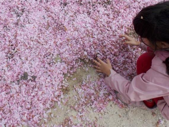 Petite fille jouant avec les fleurs de cerisier jonchant le sol, au jardin des Plantes à Paris. Photo Alina Reyes