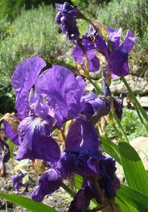 iris sans feuille Europe Asie Caucase