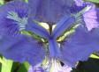 Spiritualité des iris