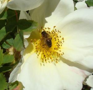 rose blanche et abeille