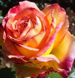 rose jaune et fuschia