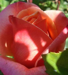 rose ombre et lumière