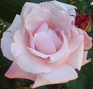rose pâle et rose rouge