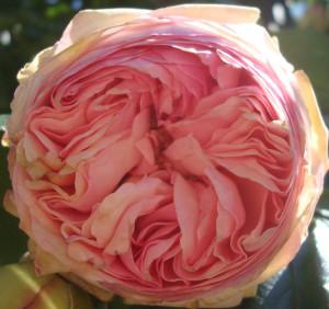 rose rose chou